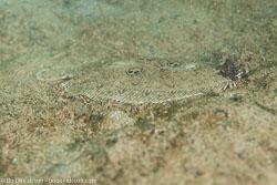 BD-140317-Padre-Burgos-2605-Pseudorhombus-dupliciocellatus.-Regan.-1905-[Ocellated-flounder].jpg